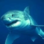 В Египте будут наблюдать за акулами