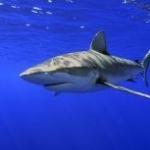 Спецслужбы не пустят акул к Эйлату